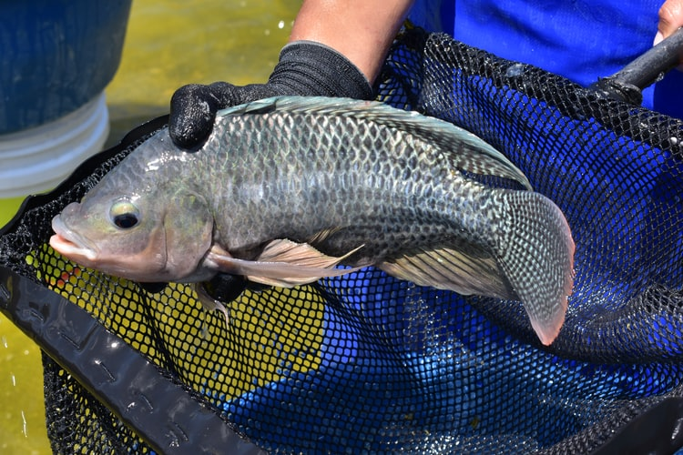 What Does a Bream Fish Look Like