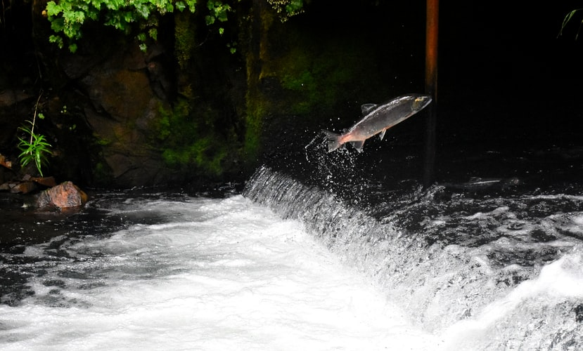 How to Use Downriggers for Salmon