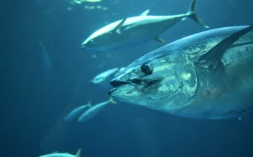where to catch bluefin tuna